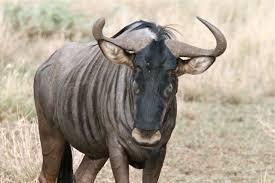 Cafeteria to Begin Serving Wildebeest